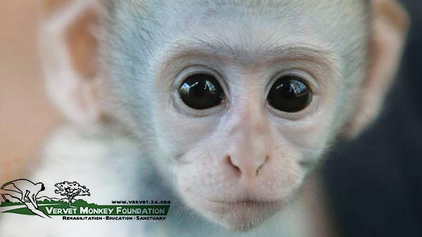 VERVET MONKEY FOUNDATION NEWS MAY 2018